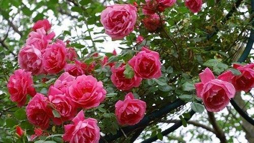 Chung cư Ecohome 2 - Vườn Hoa Hồng Cổ - Giá Trị Nhân Đôi